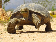 desert tortoise-dtrna mojave desert (5) (gskipperii) Tags: tortoise endangered spring rare mojavedesert californiacity reptile shell ancient old tortoiseday outdoors wildlife animal nature desert