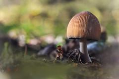 funghetto -  Into the Woods (Explored 16-05-2017) (C-Smooth) Tags: macromondays fungi mushroom fungus macro nature woods bosco intothewoods hmm
