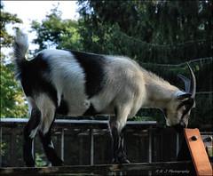 """ Walk the Plank ! "" (John Neziol) Tags: kjphotography centervilleisland centerville toronto ontario outdoor goat billygoat farmanimal animal pet portrait nikon nikoncamera nikondslr horns horn"