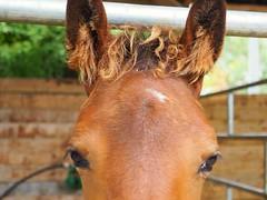 Oeil de biche (Camarole) Tags: cheval chevaux horse horses poulain animal nature portrait écuries regard oeil foal