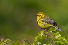 BJ8A7981-Prairie Warbler (tfells) Tags: prairiewarbler songbird passerine newjersey bird nature wildlife