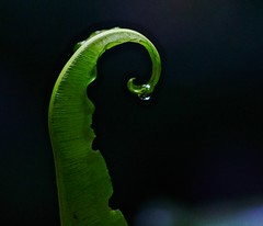 Emerging Fern Frond (iseedre) Tags: fern frond green raindrop shade shadows plant