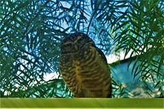 _MG_3105 (Mr.Schultz) Tags: canon owl canonphotography canont5 coruja corujas owlsofinstagram birdstagram birdsofinstagram naturephotography birdwatching birdlovers photography nature