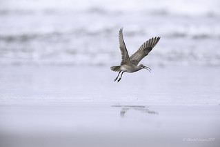 Pilgrimage to Tofino- Spread your wings- Whimbrel Style
