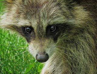 Petit Raton laveur / Little Raccoon
