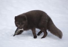 Arctic fox. (richard.mcmanus.) Tags: iceland fox arctic arcticfox animal wildlife snow winter westfjords mcmanus hornstrandir