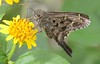 Urbanus dorantes dorantes (Stoll, 1790) (robertoguerra10) Tags: smallanthus asteraceae urbanus proteus hessperiidae butterfly borboleta brawn wildlife macro flora fauna northeast nordeste brasil brazil