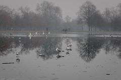 On thin ice (Through_Urizen) Tags: animalsbirdsinsects birds category england kensingtongardens london places travel city park bird wild canon canon70d canon1585mm water pond ice winter britain greatbritain uk unitedkingdom reflections