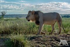 Kalahari Lion (fascinationwildlife) Tags: animal mammal kalahari kgalagadi desert black maned lion male big cat predator safari wild wildlife summer nature natur national park ktp south africa südafrika endangered species
