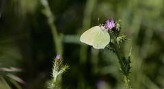 It's tea time ! (giannavalan) Tags: farfalla rovigno macchiamediterranea