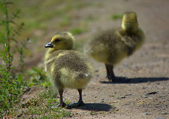 Goslings (swong95765) Tags: gosling bird young chick babies geese canadiangeese animal cute chicks waterfowl