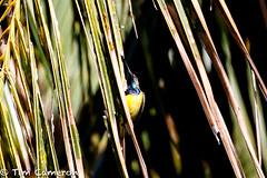 IMG_9031.jpg (cameron_tim) Tags: pintuyan olivebackedsunbird nectariniajugularis tamsi
