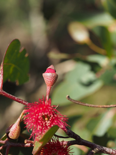 Eucalypt Flower Opening – Red Moon Sanctuary, Redmond, Western Australia