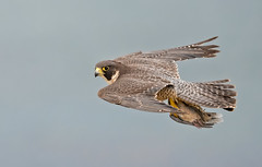 Peregrine with dove in tow (knobby6) Tags: tiercel peregrine birdofprey bird