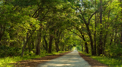 Tiger Bay State Forest. (Samuel Santiago) Tags: trees forest dirtroad green country tigerbaystateforest volusiacounty florida naturaleza nature outside canon7d canonef70200f4l lightroomcc googlenikcollection colorefexpro4