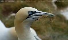 Gannet (STAFF.PAUL) Tags: bempton rspb bird sea seabird outside cliff canon canon7d canonl100400 thisphotorocks animalplanet nationalgeographicwildlife