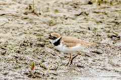Little Ringed Plover (charadrius dubius) (phat5toe) Tags: littleringedplover charadriusdubius birds avian feathers wildlife nature rspb marshside southport nikon d7000 tamron150600mm