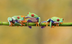 """Three's a crowd buddy!!!"" (susie2778) Tags: olympus omdem1mkii 60mmmacrof28 captive captivelight flash studio redeyedtreefrog"