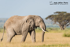 20160216-17-27-45_C018250 2000px (ajm057) Tags: 8takenusing africa africanelephantloxodontaafricana africanbushelephantloxodontaafricana amboselinationalpark andymillerphotolondonuk elephantidaeelephants kenya loxodonta mammal nikonafs600mmf4gvrii nikond810 proboscideaelephants reservesparks wildlifephotography african elephant