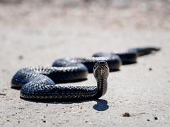Huggorm (dabrovnijk) Tags: animal animalia djur huggorm huggormar kräldjur natur ormar reptilia serpentes viperaberus viperidae