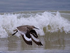 Willet and Waves (imageClear) Tags: shorebird willet americanwillet fly bif wings plumage beauty nature wildlife aperture nikon d500 80400mm imageclear flickr photostream