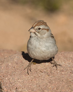 Rufous-crowned sparrow Elephant head pond az