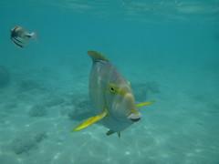 Hanauma-22 (jebigler) Tags: oahu hawaii2017 hanaumabay yellowfinsurgeonfish humuhumunukunukuapuaa unitedstates hawaii honolulu 7455kalanianaolehighway