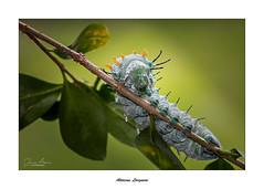 Attacus Lorguini... (Canconio59) Tags: attacus oruga caterpillar galicia españa spain macro attacuslorguini