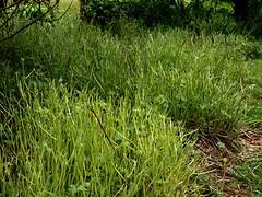 more Muntjac devastation 9.5 (ericy202) Tags: hardygeranium cranesbill muntjacdeer gardendevastation