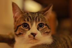 IMG_9044 (Nekogao) Tags: cat cats home 猫 にゃんこ 可愛い 子猫