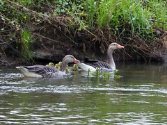 Familie Graugans (2) (Ellenore56) Tags: 29042017 graugänse graugans familiegraugans familie gänseschar graygoose goose greylaggoose anser anseranser geese family familygreylaggoose gänseküken gosling wasservögel wasservogel vogel vögel bird birds waterbird wasser water flus lake river fluss ufer bank waterside tier animal tiere animals lebewesen creature fauna tierwelt natur nature szene scene sequence scenery detail moment augenblick sichtweise perception perspektive perspective reflektion reflection reflexion farbe color colour licht light inspiration imagination faszination magic leben life newlife panasonicdmctz61 ellenore56 gaggleofgeese wildgänse wildgans brant emotion