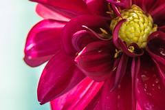 20170423_KCS_1658-2 (kaylaclare) Tags: flowers macro pink