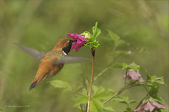 Pilgrimage to Tofino- Rufous Hummingbird (Chantal Jacques Photography) Tags: rufoushummingbird hovering wildandfree bokeh depthoffield pilgrimagetotofino wildflowers salmonberry