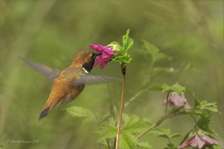 Pilgrimage to Tofino- Rufous Hummingbird