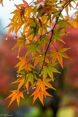 IMG_1671 (Evgeny Gorodetskiy) Tags: himeji maple foliage asia momiji leaves outdoor autumn rain japan park himejishi hyōgoken япония jp