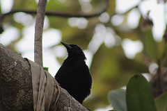 IMG_2839 (JennaF.) Tags: arboles nublado animal universidad antonio ruiz de montoya uarm fauna blackbird lima peru jardin horacio ramas hojas