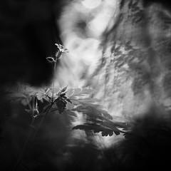 Emergence. (steph20_2) Tags: panasonic gh3 45mm lumix macro closeup flower fleur monochrome monochrom carré square noir noiretblanc ngc blanc black bw white skanchelli bokeh