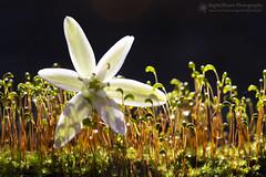 A Star is Born (right2roam) Tags: moss flower sporophytes forest nealewoods waterdrops dew nebraska woods right2roam macromondays intothewoods spring details star bokeh sparkle