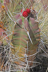 CAD0010092a (jerryoldenettel) Tags: 170418 2017 cactaceae caryophyllales chupaderamesa claretcupcactus coreeudicots echinocereus echinocereustriglochidiatus nm radiotowers socorroco wildflower cactus flower
