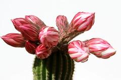 IMG_5636 (mauro muscas) Tags: fiore cactacee succulente trichocereus schickendantzii