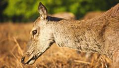 Deer's head (Ollie Barr) Tags: deer bushy park animal wildlife wild eye canon 550d eos digital slr dslr zoom lens lense 55250mm telephoto fur sun sunny