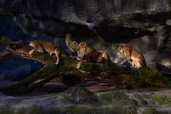 Of Kings and Queens (Nikonphotography D750) Tags: explore inexplore tierparkhagenbeck tierpark zoo hagenbeck nikon nikond750 nikonphotography hamburg igershamburg farben colors hagenbeckstierpark lion lions animals lightsandshadows atthezoo