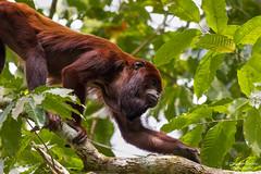 Red howler (Cristofer Martins) Tags: bugiovermelho alouattaseniculus redhowler alouatta nature wildlife monkey amazônia amazonic guariba rainforest
