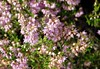 Forest heather (Jacek Magryta) Tags: jacek forest lowersilesia light heather lower silesia zielonka village zgorzelec county poland polska flower wegliniec nature colours platinumheartaward borydolnoslaskie