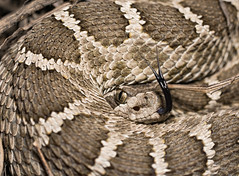 Gimme Some Tongue (Tony P Iwane) Tags: crotalus crotalusoreganus crotalusoreganusoreganus fieldherping herp herping nature northernpacificrattlesnake rattler rattlesnake rattlesnakes reptile reptiles snake snakes westernrattlesnake wildlfe alamedacounty california