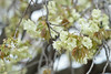Prunus lannesiana 'Grandiflora' (Masaoki Hirai) Tags: cerasus rosaceae elmaritr135mmf28 cherryblossoms prunus