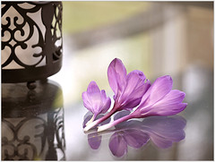 (melolou) Tags: flowers three crocus reflect spring purple zen