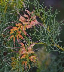 Grevillea dielsiana, Kings Park, Perth, WA, 26/04/17 (Russell Cumming) Tags: plant grevillea grevilleadielsiana proteaceae kingspark perth westernaustralia