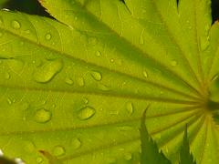 Regenblatt (Jörg Paul Kaspari) Tags: trier pallien garten garden frühling spring ahorn acer maple hellgrün drop drops tropfen