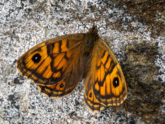 Wall (Roger B.) Tags: bolsterstone wall lasiommatamegera butterfly wallbrown sheffield southyorkshire unitedkingdom gbr